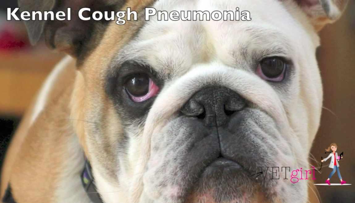 Kennel Cough Pneumonia Vetgirl Veterinary Ce Blog
