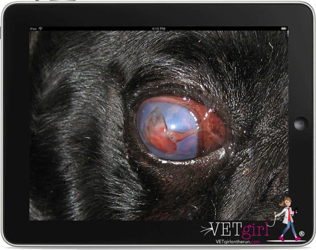 Dog with KCS and corneal injury