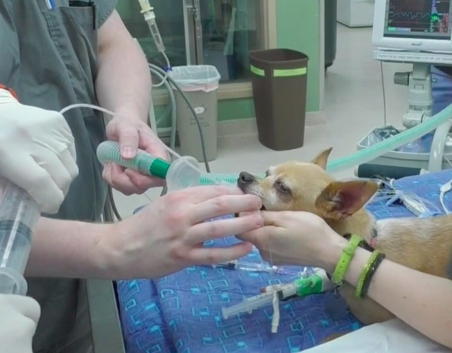 how to perform an endotracheal lavage in a dog