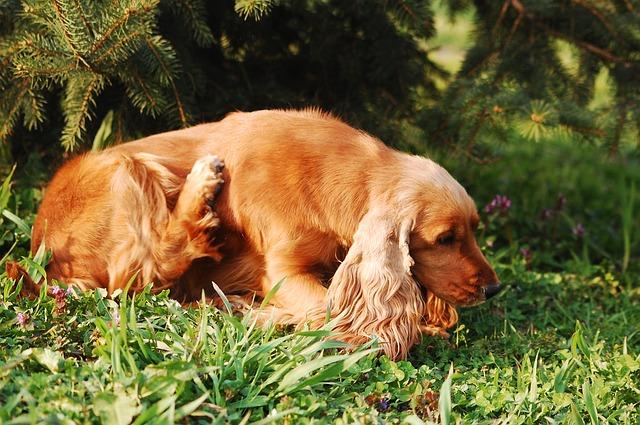 VETgirl, VETgirl Ce, VETgirl blog, VETgirl online Ce, veterinary CE, Zoetis, pruritis, itchy dog, Cytopoint, Apoquel