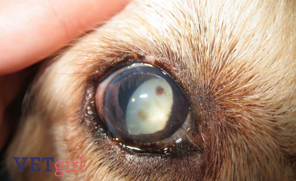 Congenital glaucoma VETgirl Dr Shelby Reinstein
